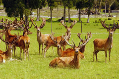 Red deer stags in velvet royalty free stock photos