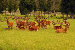 Red deer stags in velvet Stock Photos