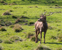Red deer. Standing on a green hill Royalty Free Stock Image