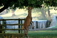 Red deer standing on hind legs Royalty Free Stock Photography