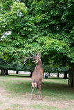 Red deer standing up on two feet eating from tree Royalty Free Stock Image