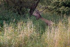 Red deer stands between the tall reeds during the rut Royalty Free Stock Photos