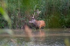 Red deer stands between the tall reeds during the rut Stock Photo