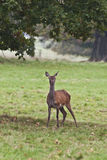 Red deer: Staring in the wild. Red female deer staring towards camera before running of in the woods Royalty Free Stock Photo
