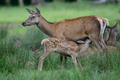 Red deer suckle her calf Royalty Free Stock Photos