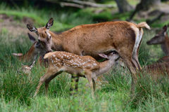 Red deer suckle her calf Royalty Free Stock Photo
