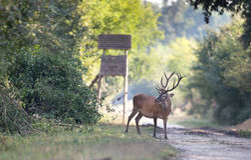 Red deer in summer Stock Images