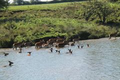 Red Deer Swimming. Royalty Free Stock Photo