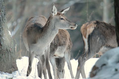 Red deer take a rest in the evenig.  Stock Photo