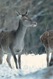 Red deer take a rest in the evenig.  Royalty Free Stock Photo