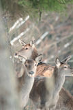 Red deer take a rest in the evenig.  Royalty Free Stock Photography