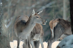 Red deer take a rest in the evenig.  Royalty Free Stock Image