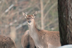 Red deer take a rest in the evenig.  Royalty Free Stock Images