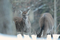 Red deer take a rest in the evenig.  Stock Images