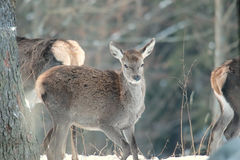 Red deer take a rest in the evenig.  Royalty Free Stock Photos