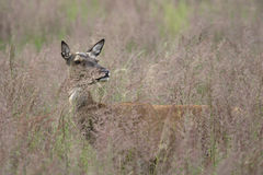 Red deer in tall grass Royalty Free Stock Photography