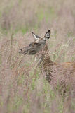 Red deer in tall grass Stock Photos