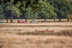 Red deer walking through grass. Red deer walking through dry yellow grass on a sunny summer day in Richmond Park, London royalty free stock photo