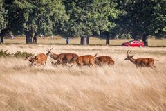 Red deer walking through grass. Red deer walking through dry yellow grass on a sunny summer day in Richmond Park, London royalty free stock photos