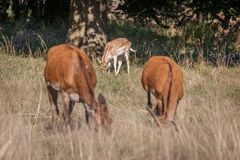 Red deer walking through grass. Red deer walking through dry yellow grass on a sunny summer day in Richmond Park, London royalty free stock image