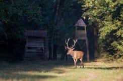 Red deer walking in forest. Red deer with big antlers walking in forest with watchtower in background. Wildlife in natural habitat Stock Images