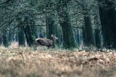Red deer walking into forest. National Park Hoge Veluwe. Stock Images