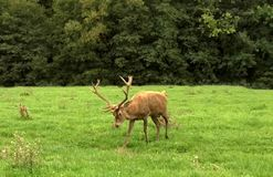 Red deer  walking in the meadow Royalty Free Stock Photo