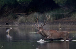 Red deer walking in shallow water. Red deer with big antlers walking in shallow water. Wildlife in natural habitat Royalty Free Stock Photography
