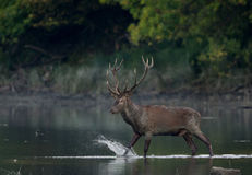Red deer walking in shallow water. Red deer with big antlers walking in shallow water. Wildlife in natural habitat Stock Photo