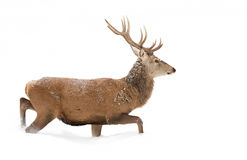 Red deer. Walking through the winter snow Royalty Free Stock Photo