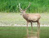 Red deer in water Stock Image