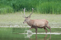 Red deer in water Stock Photography