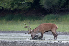 Red deer in the water Royalty Free Stock Photo