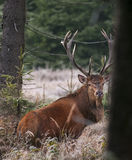 Red Deer. In the wild Stock Images