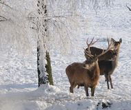 Red-deer in winter Royalty Free Stock Photos