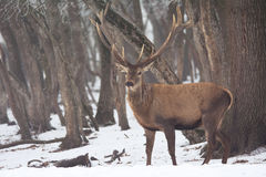 Red deer in winter. Red deer in the winter environment royalty free stock image