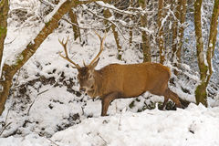 Red Deer in the  winter forest Stock Photos