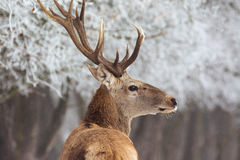 Red deer in winter Royalty Free Stock Photo