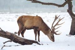 Red deer in winter Stock Image