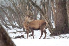 Red deer in winter Stock Images