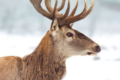 Red deer in winter Royalty Free Stock Photography