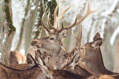 Red deer in winter Stock Photos