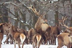 Red deer in winter Royalty Free Stock Image