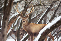 Red deer in winter Stock Photography