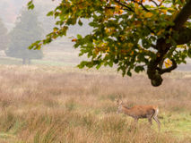 Red deer woodland Royalty Free Stock Image