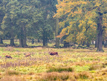 Red deer woodland Royalty Free Stock Photo