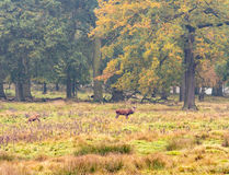 Red deer woodland Stock Photo