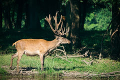 Red Deer in the woods Royalty Free Stock Image