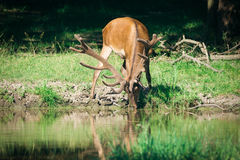 Red Deer in the woods Royalty Free Stock Photo