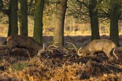 Red Deer (Cervus elaphus) Royalty Free Stock Photography